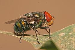 blowfly2