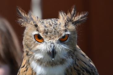 owl-1374914_1280
