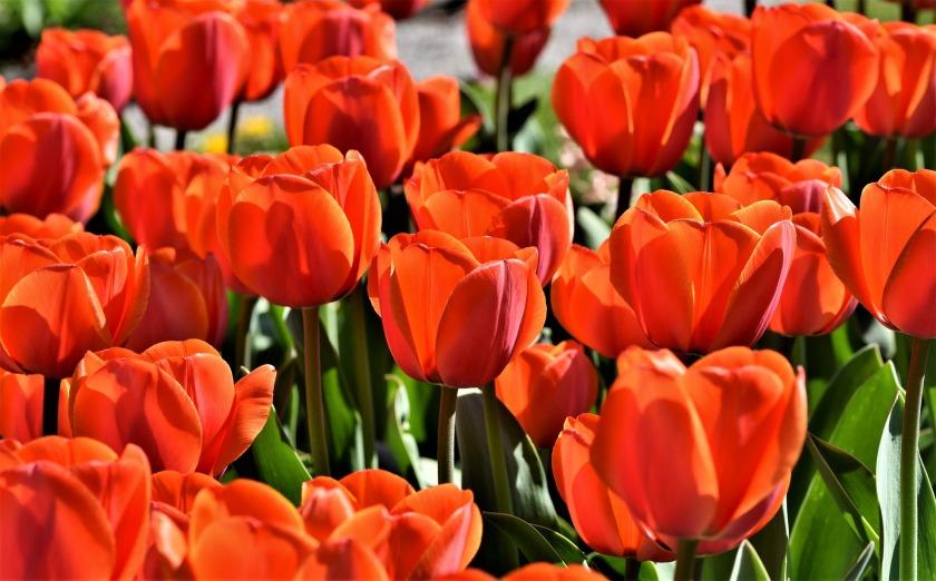 tulip-4191962_1920
